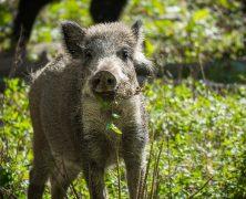 Willkommen im chinesischen Jahr des Schweins